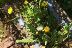 Dandelion-24-May-2019-1-scaled