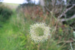 Cow-parsley-scaled
