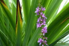 Purple-loosetrife