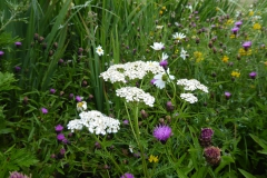Yarrow and knapweed